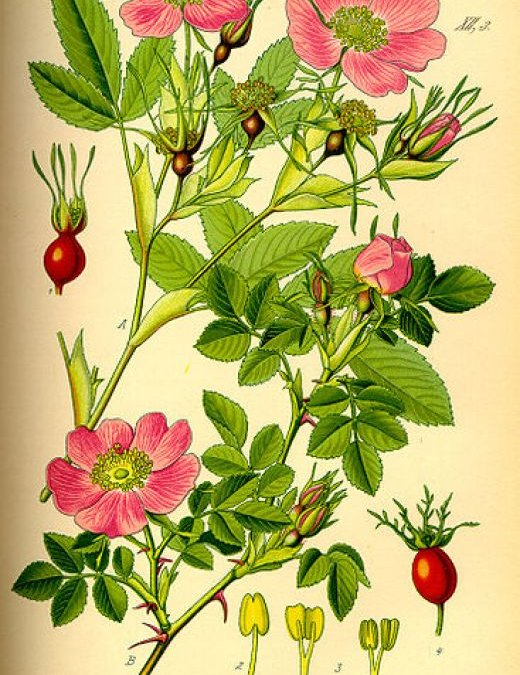 How to Harvest and Use Rose Hips